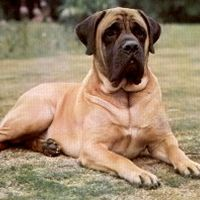 This is going to be my dog when I move out... English mastiff <3