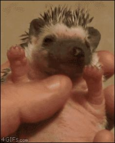 Hedge hog!
