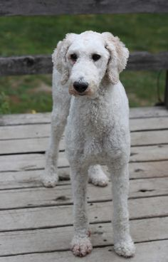 Standard Poodle - shaved, but not a foo foo style
