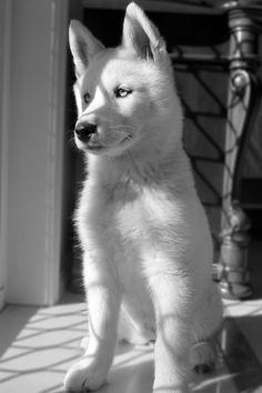 white ohibo les chien