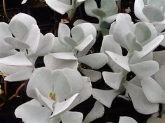 Succulents grown in the USA Pigs Ear Cotyledon orbiculta
