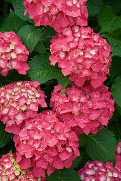 20 seeds/bag hydrangea seed, china hydrangea, hydrangea flower seeds, 12 colors, Natural growth for home garden planting Hortensia Hydrangea, Hydrangea Garden, Pink Hydrangea, Hydrangeas, My Flower, Pink Flowers, Beautiful Flowers, Colorful Roses, Tulips
