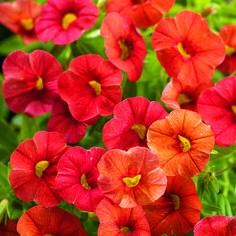 Superbells® Dreamsicle - Calibrachoa hybrid - One of my favorite annuals, like a little petunia, no deadheading required.