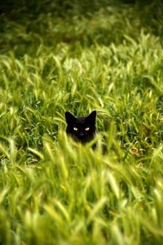 Black cat in the cornfield - Cute Animals - Cats Pretty Cats, Beautiful Cats, Animals Beautiful, Cute Animals, Crazy Cat Lady, Crazy Cats, Gatos Cats, Photo Chat, Tier Fotos