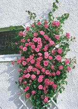 Rosa Lawinia KÖYNNÖSRUUSU Perennial Flowering Plants, Perennials, Black Baccara, Rose Foto, Roses Only, Rose Trellis, Rose Online, Fragrant Roses, Climbing Roses
