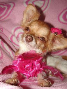 Long Coat Teacup Chihuahua - Bing Images