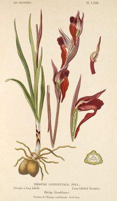 Serapias vomeracea (Burm. f.) Briq.  (Originally Serapias longipetala) 1923