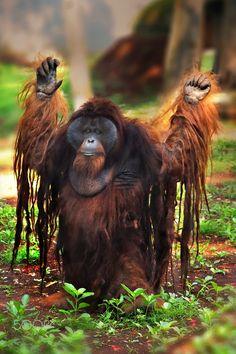 I quit ! Orangutan Monkey, Chimpanzee, Primates, Mammals, Animals And Pets, Cute Animals, Monkey Forest, Mountain Gorilla, Wild Nature