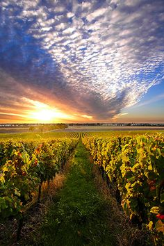 """""""Bordeaux Vineyard"""" by Howard Oates .A lush green vineyard very much like the Dupree estate. I couldn't help but note the ambiguity of the sky. Will it storm?"""