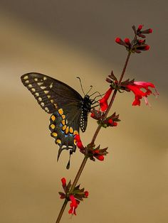 Black Swallowtail Butterfly - state butterfly of Oklahoma, USA