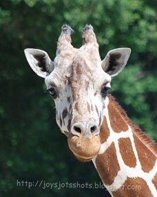 Goofy Gorgeous Giraffe