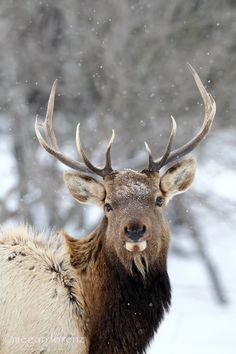 Bull Elk by Megan Lorenz on 500px