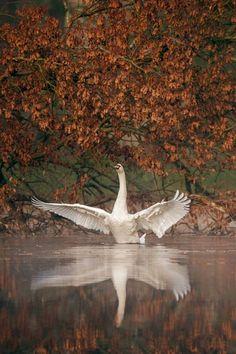 swansong-willows: (via Pin by Nancy Lorraine on Swans | Pinterest) Original Source: http://voogee.35photo.ru/photo_602849/