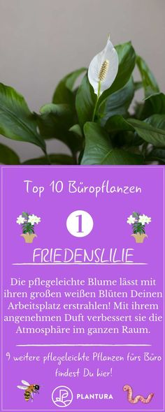 Office plants: 10 easy-care types for the office Plantura Ficus, Office Plants, Thankful, Herbs, Easy, Bro, Beautiful, Decor, Potted Plants