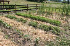 no till gardening... potatoes, carrots, onions, garlic, lettuce peas and green beans