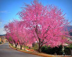 Cerejeira-do-japão – Prunus serrulata