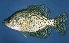 pictures of crappie fish | Copyright, Fishing LakeSimcoe