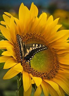 Beautiful Sunflower and Butterfly! So beautiful. Happy Flowers, Beautiful Flowers, Sun Flowers, Beautiful Things, Beauty And More, Pure Beauty, Sunflowers And Daisies, Mellow Yellow, Yellow Black