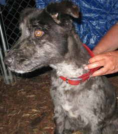 My owner is elderly and can no longer provide the care I need.  I am 8 years old and am an outside dog, but I love to be with people.  I do have an odd combination of hair so do require grooming.  I like to go for walks.