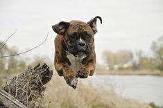 Police Dog Breeds, Boxer Dog Breed, Brindle Boxer, Boxer Puppies, Police Dogs, Dogs And Puppies, Best Dog Food, Best Dogs, Cesar Millan