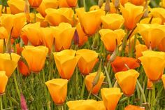 Find the best places to see California wildflowers - how to track the annual bloom, tips