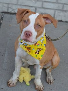 Brooklyn Center DOUGIE - A1026276 MALE, BROWN / WHITE, AM PIT BULL TER MIX, 9 mos STRAY - STRAY WAIT, NO HOLD Reason STRAY Intake condition EXAM REQ Intake Date 01/25/2015 https://www.facebook.com/photo.php?fbid=950130468333166