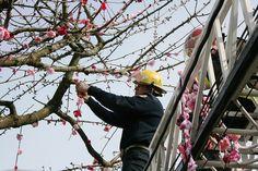 Yarn bombing Japanese-Canadian writer Joy Kogawa's cherry tree