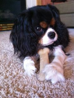 Cavalier king Charles spaniel, this one has that naughty look, like my Bindi Baby! Cavalier King Charles Spaniel, King Charles Puppy, Beautiful Dogs, Animals Beautiful, Cute Puppies, Cute Dogs, Baby Animals, Cute Animals, Spaniel Puppies
