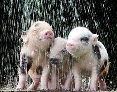 Cute Creatures, Beautiful Creatures, Animals Beautiful, Teacup Pigs, Mini Pigs, Baby Pigs, Cute Pigs, Mundo Animal, Little Pigs