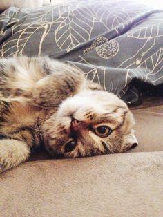 Scottish Fold kitten | too cute, i want