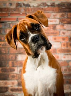 """So you want me to pose like this?"" Just like my Boxer ""Lexi"" this one looks about the same age around 5 months"