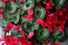 Így gondozzuk a cikláment télen! Gardening, Vegetables, Plants, Lawn And Garden, Veggies, Vegetable Recipes, Plant, Planting, Planets