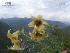 Lilium bakerianum wächst vor allem in Kiefernwäldern, aber auch an grasigen Hängen, Waldrändern oder in Dickichten, oft in der Nähe von Wasser. Die Art findet sich in Höhenlagen von 1500 m bis 3800 m NN.  Die Art ist in den Provinzen Yunnan, Guizhou und Sichuan in der Volksrepublik China verbreitet. Vereinzelte Vorkommen finden sich aber auch in Myanmar.