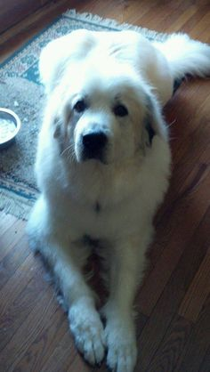 :0) Great Pyrenees