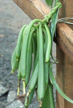 unripe vanilla beans