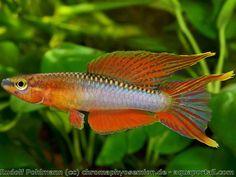 Aphyosemion pamaense : Killi de Pama, nouvelle espèce de poisson d'Afrique