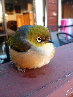 White Eye - Silvereye  - or Wax-eye (Zosterops lateralis)  -  a very small omnivorous passerine bird of the south-west pacific