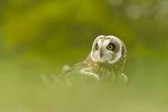 Short eared Owl by Matt Binstead on 500px