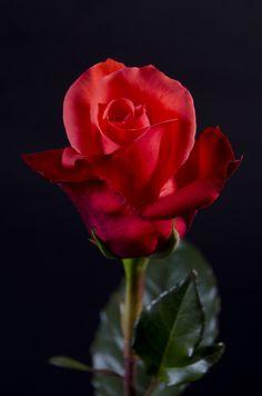 MANITOU - Eden Roses