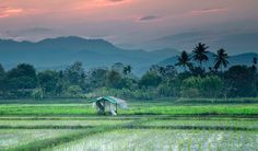 Field of dreams … rice paddies near Chiang Mai