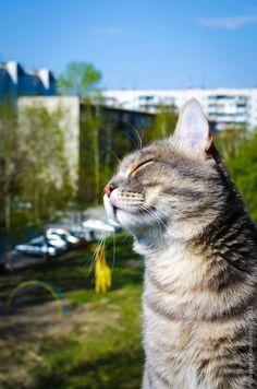 Cat enjoying the spring sunshine in Moenhout, Belgium. Click here to see more cats of Belgium http://www.traveling-cats.com/search/label/Belgium (katten, poezen, katers, lente, zonnetje, Moenhout, Antwerpen, België, kattenfoto's)