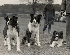 Pat, Spot and Peter, owned by Mr Mark Hayton, awaiting their turn to take part in the Sheep Dog Trials, at Bramhope, West Yorkshire, June 1936