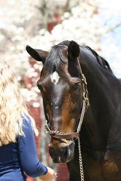 Bay Dutch Warmblood Gelding Headshot by ~HorseStockPhotos on deviantART