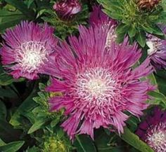 Stokesia laevis 'Honeysong Purple' 1 flower