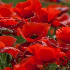 ♡ Poppies