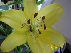 Lilium canadense - An Asiatic hybrid lily