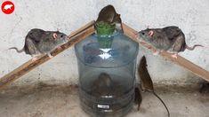 Mouse/Rat Trap/Home Made Mouse Trap/Automatic Rat & Mouse Trap Rats, Mouse Traps That Work, Homemade Mouse Traps, Rat Repellent, Rat Traps, Rodents, Inventions, Rat Mouse, Life Hacks