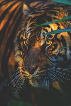 visualechoess:  Sunset Tiger by: patrick strock