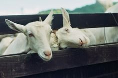 Goats by my favourite photographer: Russell Grant
