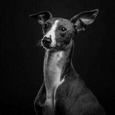 Timothy the Italian Greyhound looking fabulous in the studio! Thank you @kez_3 for bringing him in! #timothytheig #italiangreyhound #italiangreyhoundsofinstagram #italiangreyhoundphotography #dogphotography #dogportrait #dogphotographer #lowkey #lowkeyportrait #lowkeylighting #studioportrait #photographer #photography #dogportrait #dogportraitphotography #dogporitraitphotographer #petportrait #petportraitphotography #petportraitphotographer #dogportraitphotography #dogsofinstagram…